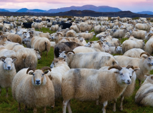 Vulnerable Sheep Seek the Shepherd, Not Power