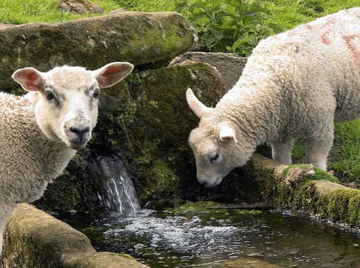 Sheep, Ireland, and God's Sovereign Hand